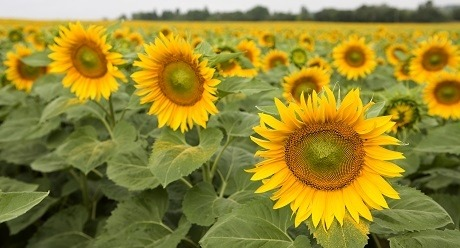 sunflower Syngenta